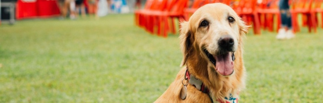 Golden retriever at event